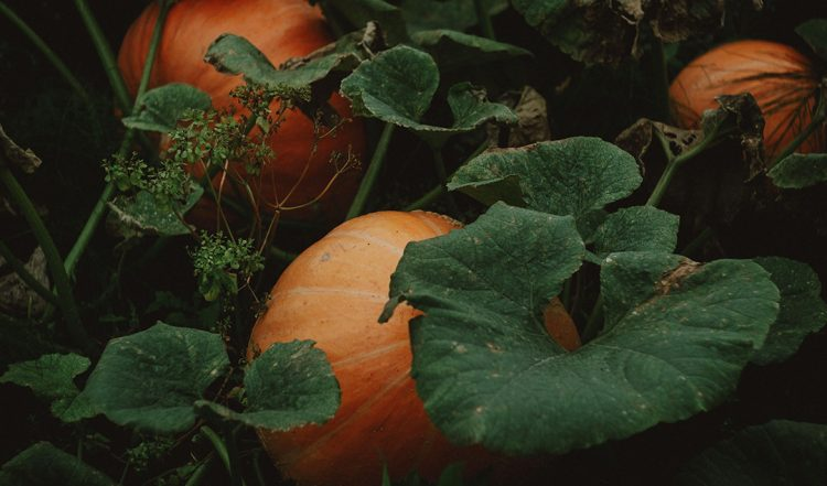 How to grow Massive Harvests of Pumpkins