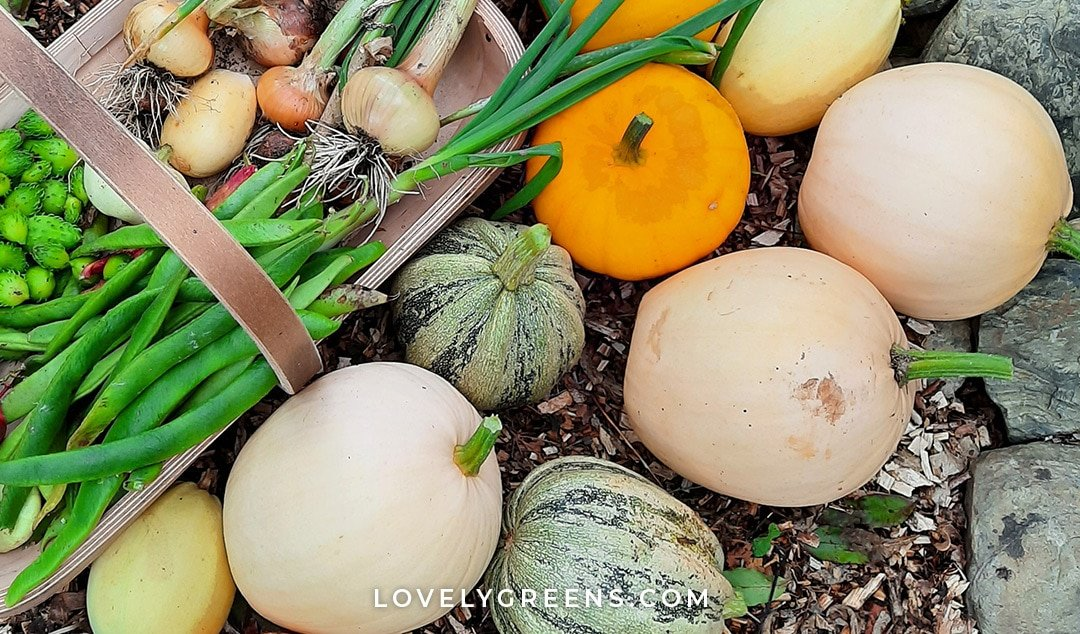 Ten of the best pumpkins to grow for eating including the type used to make Libby's pumpkin puree. Also, tips on the best eating pumpkins to grow in cooler climates and small gardens #gardeningtips #vegetablegarden #growfood