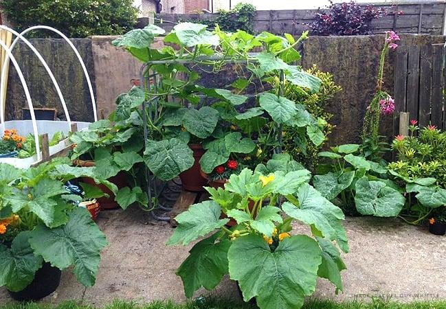 how to grow massive pumpkins