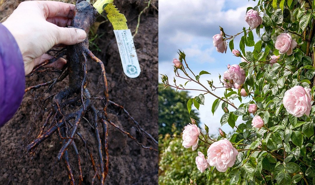 Tips on how to plant Bare Root Roses | Lovely Greens