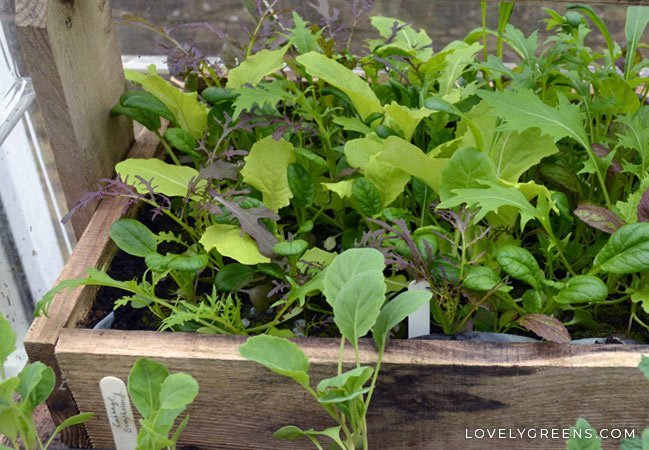 Get multiple harvests when you grow baby salad greens and lettuce as cut-and-come-again. All you need is a shallow container, compost, and seeds #growyourown #gardeningtips #vegetablegarden #containergarden