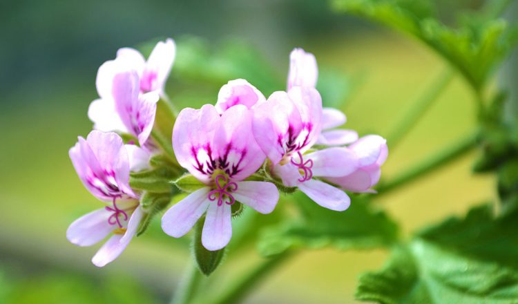 How to propagate Rose Scented Geraniums