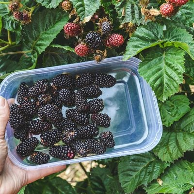 How to build a Blackberry Trellis: a simple way to grow thornless blackberries