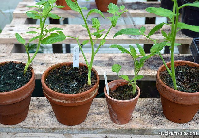 How to Propagate Tomato Plants from Cuttings. This is the best way to re-grow F1 hybrid tomatoes but you can use the technique for all tomatoes #lovelygreens #growtomatoes #gardening #propagating #plantsforfree #gardeningtip