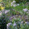 Grow Valerian as a Natural Sleep Aid #herbalmedicine #herbs