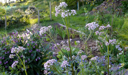 How to grow Valerian -- a natural herbal sleep aide
