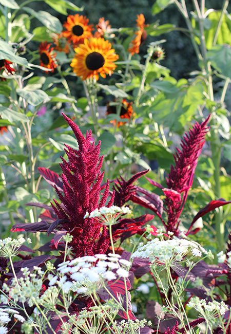 Tips on how to grow a cut flower garden including how to layout your garden, amending soil, and flowers to choose for scented and long-lasting bouquets #gardeningtips #flowerfarm #flowergarden