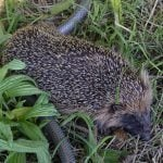 What Gardeners can do to save Hedgehogs