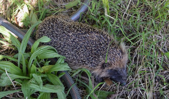 Tips on how gardeners can help hedgehogs in the garden. Includes ideas for creating shelter, creating access, and avoiding metaldehyde slug pellets