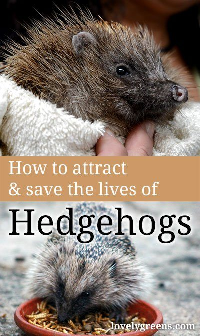 What gardeners can do to attract and save hedgehogs