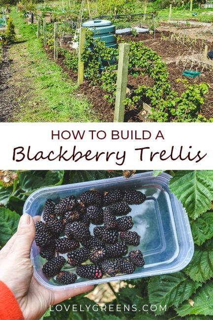 How to build a Blackberry Trellis: a simple way to grow thornless blackberries. Wood, wire, and eyelet screws are all you need to build a simple blackberry trellis. This is an inexpensive way to grow thornless blackberries in the vegetable garden. There's a video showing how I built mine at the end of this piece #lovelygreens #growyourown #vegetablegarden #diygarden #blackberries #gardening #gardeningtips