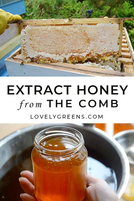 How to extract honey from the comb: a small-scale beekeeper shares the full process of taking honey from the hives and extracting it into jars #beekeeping #homesteading #foodinjars #preserving