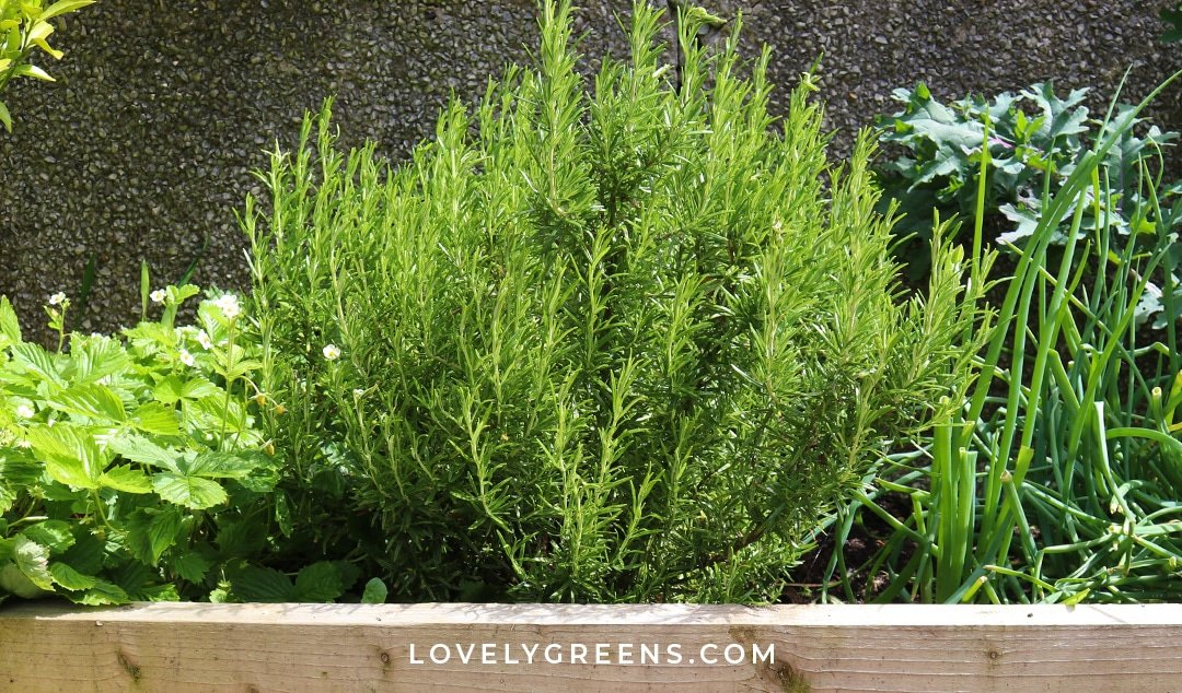 How to Grow Rosemary in Pots, Indoors, and the Garden