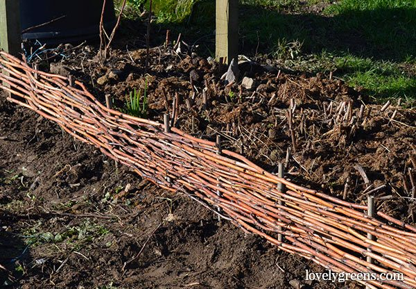 How to weave pruned raspberry canes into attractive garden edging.
