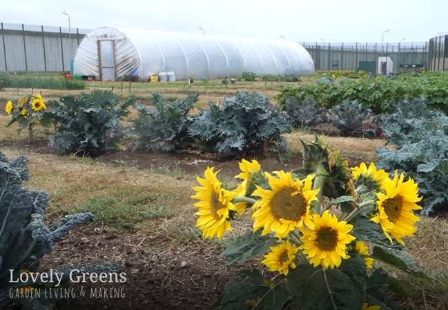 A tour of a prison vegetable garden, a look at how growing fresh vegetables is used in the prison kitchen, and ways that the program is used in the prison's resettlement program #lovelygreens #vegetablegarden #permaculture #gardening #growyourown #greennews #organicgardening #isleofman