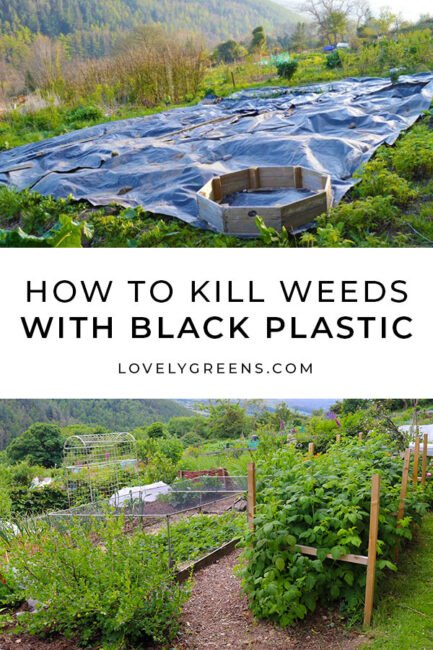 Black plastic can kill weeds to clear land for an organic garden. Temporary sheet-mulching is an eco-friendly way to create a clean patch of soil without having to use herbicides #gardeningtips #organicgarden
