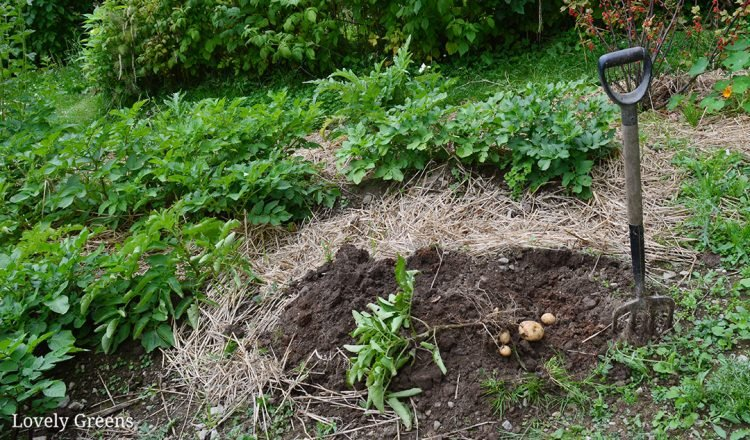 How and when to harvest potatoes: know when to dig potatoes up