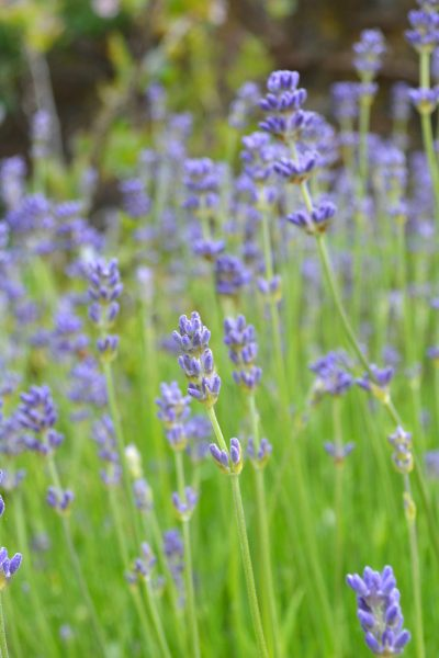 How to grow Lavender and use it in Skincare