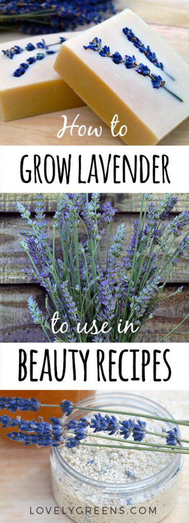 How to grow lavender for skincare recipes + beauty recipes using lavender buds and oil #herbalism #herbs #lavender #beautyrecipe #soapmaking #beautyherbs