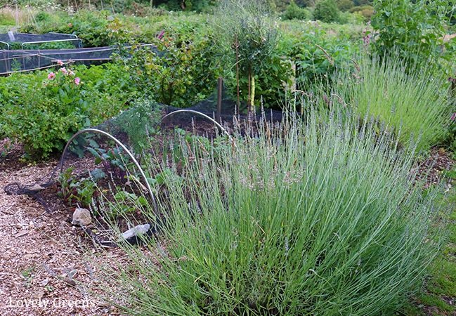 Instructions on how to propagate lavender from cuttings. Works for all types of lavender and cuttings from new or semi-hard wood. Full DIY video included #gardeningtips #growlavender #flowergarden