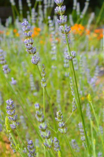 How to grow lavender in the garden or in containers and tips on harvesting and using it in skincare recipes #herbalism #lovelygreens #lavender #growlavender #aromatherapy #lavendersoap #lavendercream #lavenderbalm