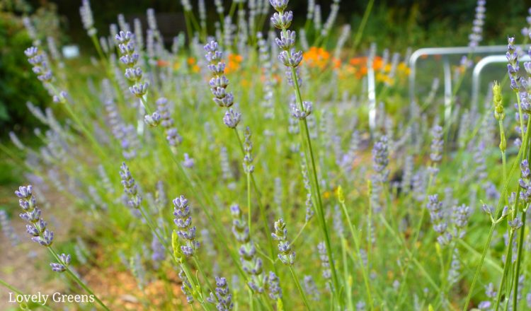 How to Grow English Lavender + Ideas for using the flowers