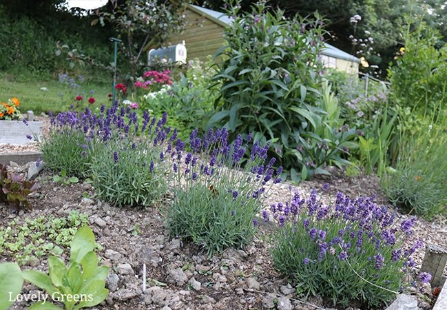 Plants for Free: Instructions on how to propagate lavender from cuttings. Works for all types of lavender and cuttings from new or semi-hard wood. Full DIY video included #gardeningtips #growlavender #flowergarden