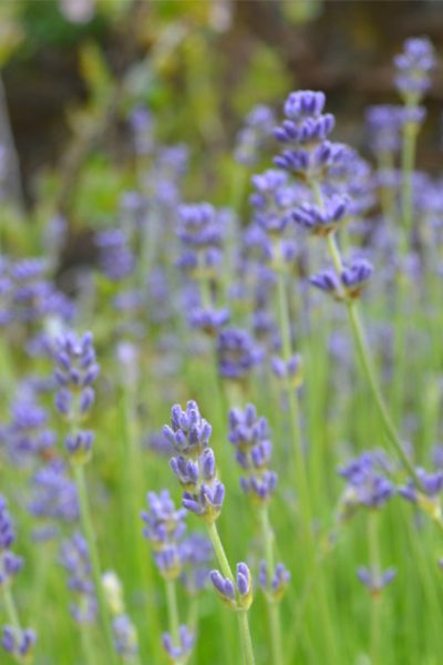 How to grow English lavender with tips on cultivars, growing conditions, and growing lavender in containers #herbgarden #growlavender #gardeningtips