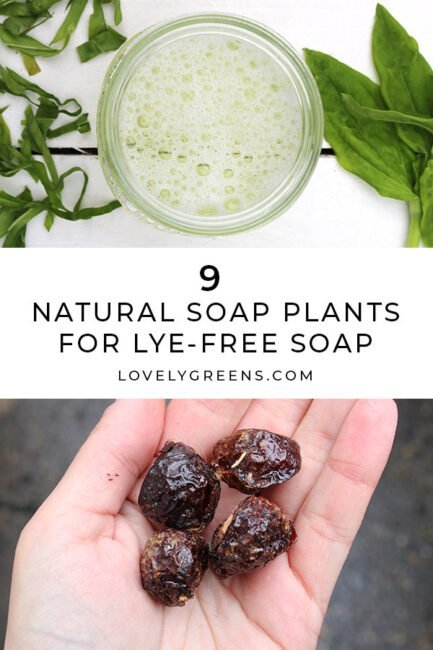 9 Natural soap plants for making lye-free soap: Use natural surfactants from plants to create natural soap, detergents, and cleaners. Includes a list of plants rich in saponin and which parts to use #soapmaking #soaprecipe #naturalhome