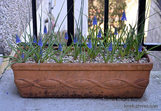 Planting Bulbs in Pots for Early Spring Flowers