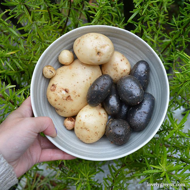 How to know when to harvest potatoes