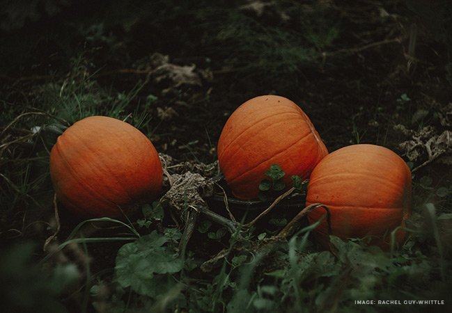 large orange pumpkins in a bed of dark green withering vines