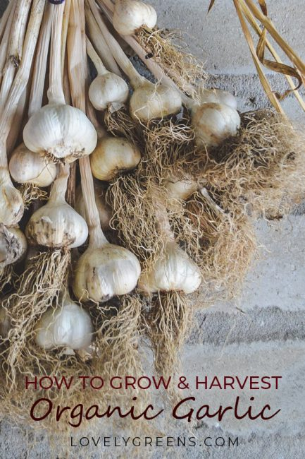 Tips on how to grow organic garlic including varieties, planting direct and in modules, after care, harvesting, and storage #organicgardening #vegetablegardening #gardeningtips