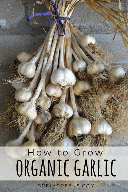 Tips on how to grow organic garlic including varieties, planting direct and in modules, after care, harvesting, and storage #lovelygreens #organicgardening #vegetablegardening #growinggarlic #veggiegarden #homesteading #gardening #growfood #gardeningtips