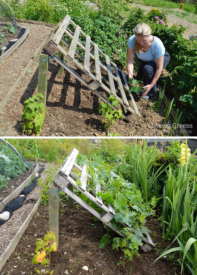 DIY Pallet Cucumber Trellis -- Re-purpose a wood pallet into a quick and sturdy DIY cucumber trellis -- no tools required. It gives space for the plants to grow and makes harvesting an easy task #lovelygreens #trellis #growcucumbers #pallet #pallets #palletidea #gardeningtip #gardening #vegetablegarden
