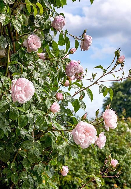 Winter gardening task: plant bare root roses. Use these tips to know what to expect when the roses arrive from the grower, how to plant them, and ways to postpone planting direct in the garden. Includes a full DIY video #lovelygreens #growroses #roses #gardeningtips
