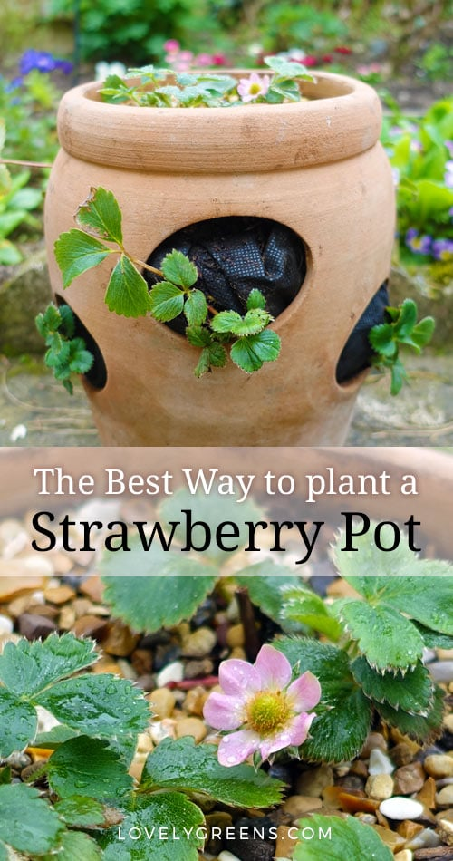 The best way to plant a strawberry pot with tips on choosing plants, erosion, watering, and compost #growyourown #strawberries #terracottapot #growstrawberries #organicgardening #containergardening #urbangardening #growfood
