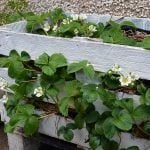 How to plant a Strawberry Pallet Planter