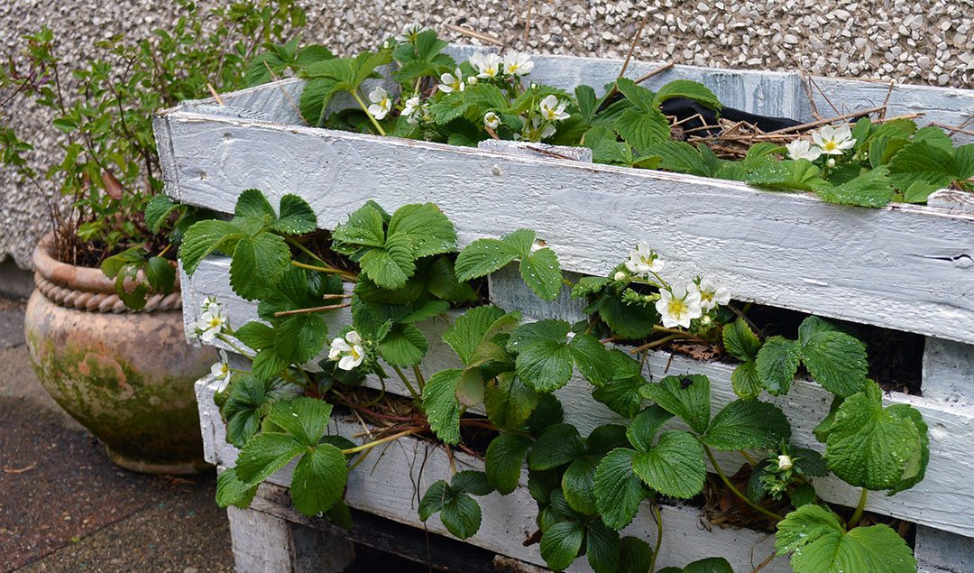 Planting the Strawberry Pallet Planter