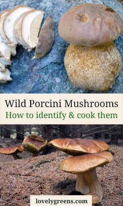Known as the 'King of Mushrooms' the flavour of Porcini is rich, delicious, and more 'mushroomy' than any other