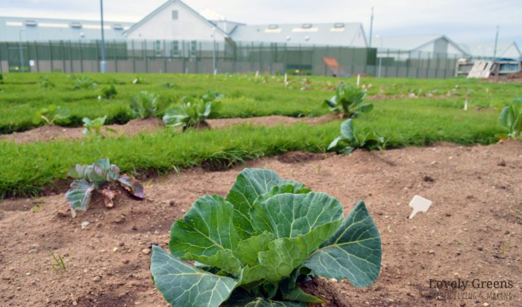 The Isle of Man Prison Vegetable Garden