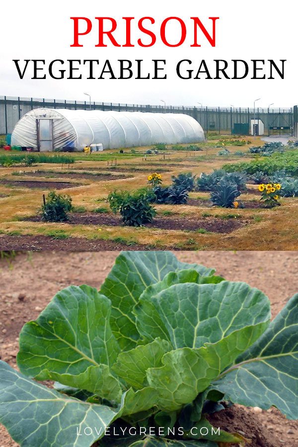A tour of a prison vegetable garden, a look at how growing fresh vegetables is used in the prison kitchen, and ways that the program is used in the prison's resettlement program #lovelygreens #vegetablegarden #permaculture #gardening #growyourown #greennews #organicgardening