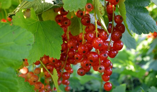 How to propagate soft fruit bushes