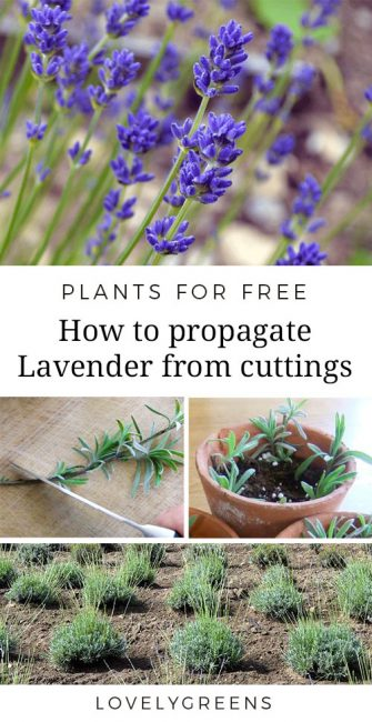 Instructions on how to propagate lavender from cuttings. Works for both English and French lavender and cuttings from new or semi-hard wood.