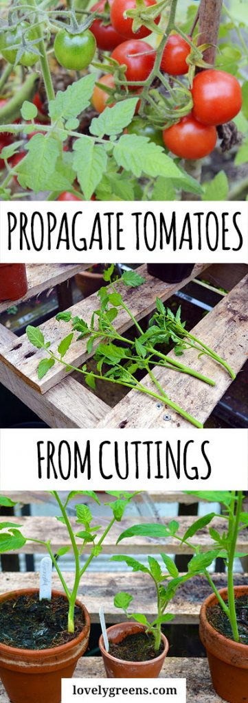 How to Propagate Tomato Plants from Cuttings