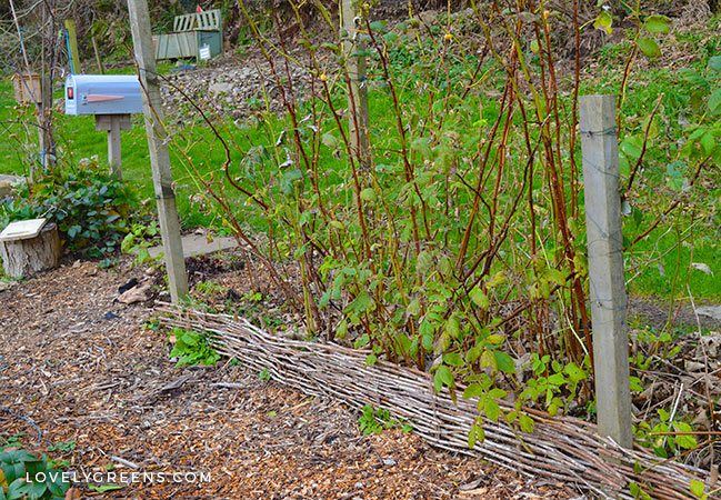 Autumn Gardening Tasks: Pruning Raspberries & Planting Garlic #vegetablegarden