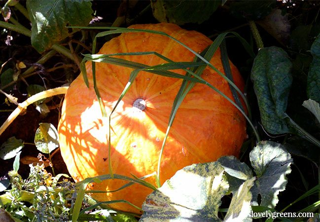 Ten of the best pumpkins to grow for the table including heritage french varieties and types that grow well in cooler climates #lovelygreens #growpumpkins #thebestpumpkin #besttastingpumpkin #vegetablegarden #gardeningtips #kitchengarden