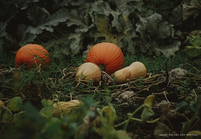 Passionate pumpkin hoarder and self-confessed 'lazy gardener' shares her top tips on how to grow pumpkins and winter squash. Includes ideas for choosing the right varieties, soil preparation, pollination, and why she never saves her own seeds #lovelygreens #growpumpkins #organicgardening