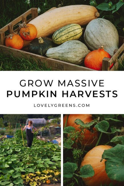 Top tips on how to grow big harvests of pumpkins and winter squash. Includes ideas for choosing the right varieties, soil preparation, pollination, and why you should be careful about saving seeds #gardeningtips #vegetablegarden #fallgardening
