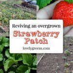 Reviving an Overgrown Strawberry Patch